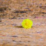Semman Candle Flower